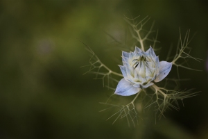 IMG_Blue Flower Talmont