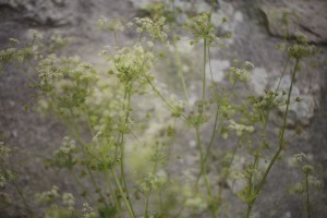IMG_French Cowparsley
