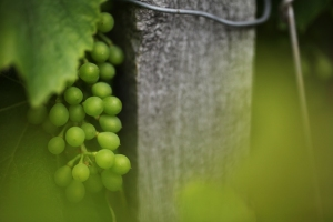 IMG_Grapes Talmont
