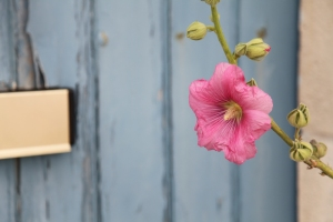 IMG_Pink flower Blue door Tolmont